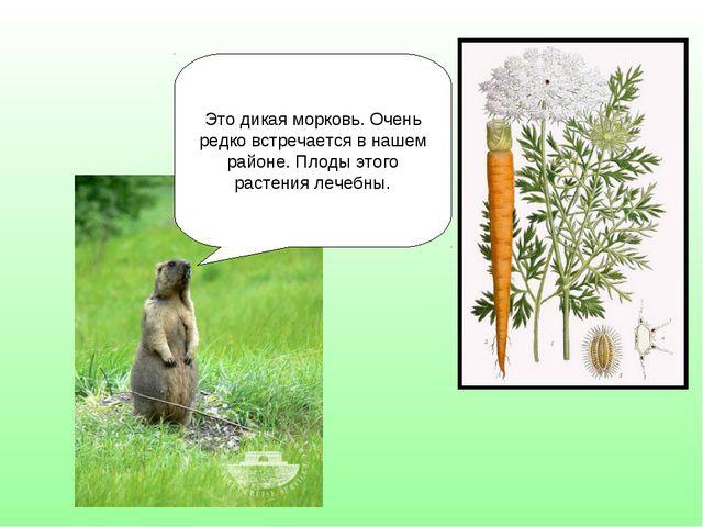 Это дикая морковь. Очень редко встречается в нашем районе. Плоды этого растен...
