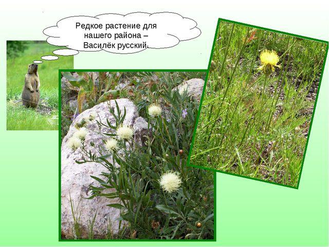 Редкое растение для нашего района – Василёк русский.