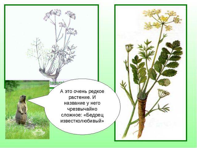 А это очень редкое растение. И название у него чрезвычайно сложное: «Бедрец и...