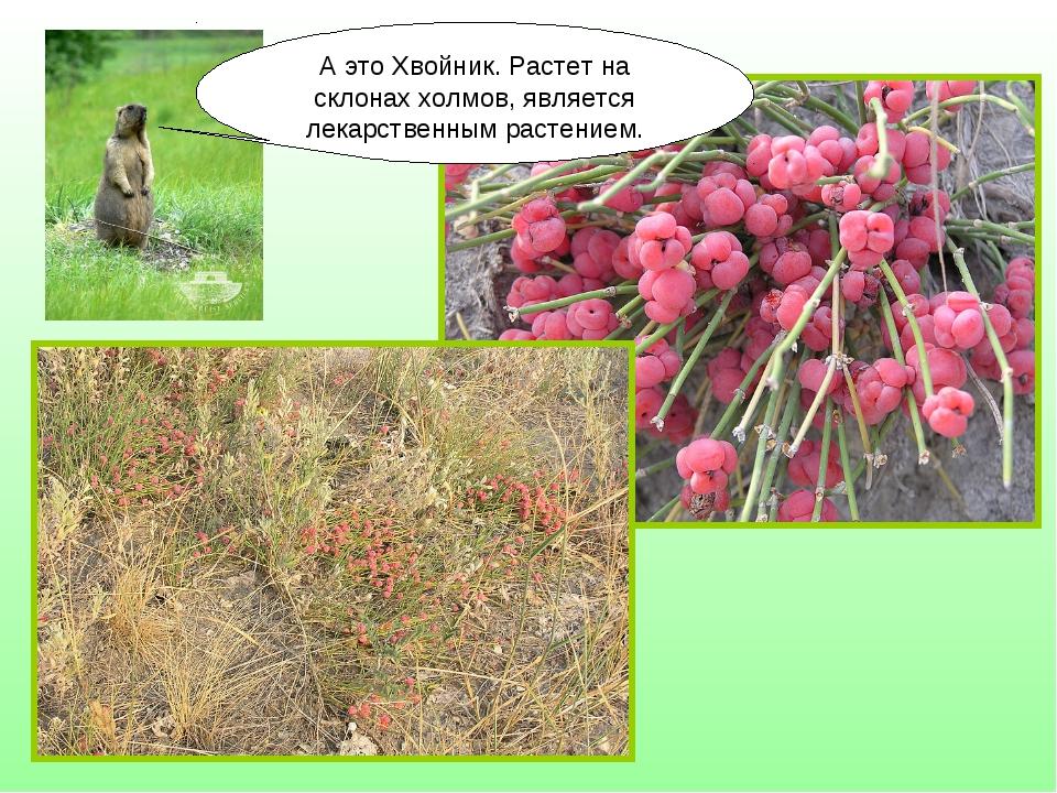 А это Хвойник. Растет на склонах холмов, является лекарственным растением.