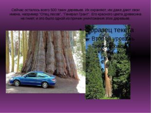Сейчас осталось всего 500 таких деревьев. Их охраняют, им даже дают свои имен