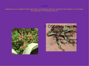 Вельвичия Вельви́чия, род голосеменных растений семейства вельвичиевых. 1 ви