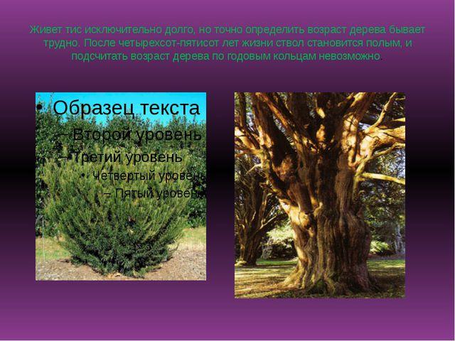 Живет тис исключительно долго,но точно определить возраст дерева бывает труд...