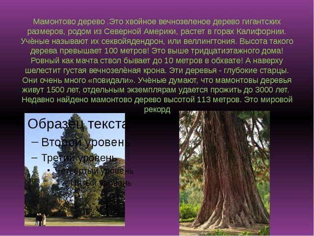 Мамонтово дерево .Это хвойное вечнозеленое дерево гигантских размеров, родом...