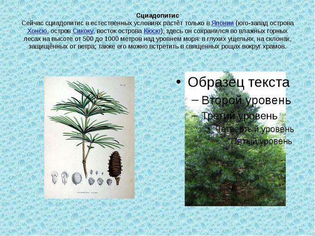 Сциадопитис Сейчас сциадопитис в естественных условиях растёт только вЯпонии...