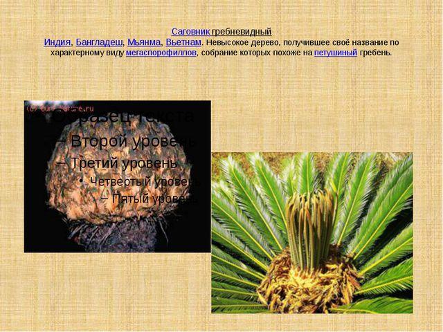 Саговник гребневидный Индия,Бангладеш,Мьянма,Вьетнам. Невысокое дерево, по...