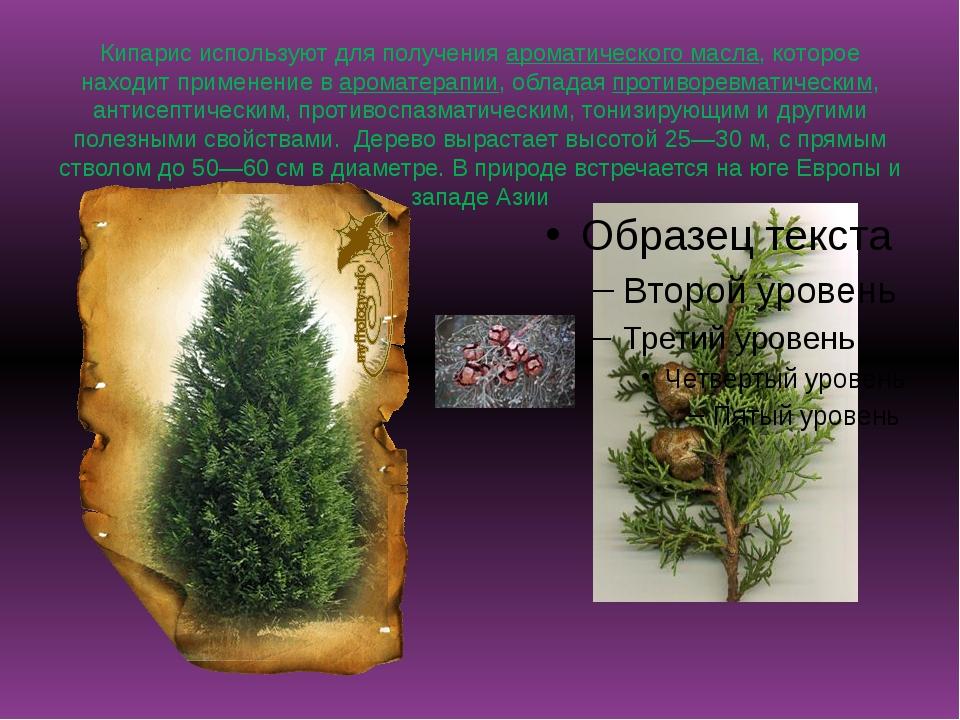 Кипарис используют для полученияароматического масла, которое находит примен...