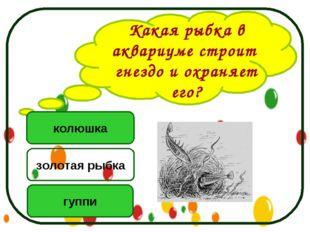 Какая рыбка в аквариуме строит гнездо и охраняет его? колюшка гуппи золотая р