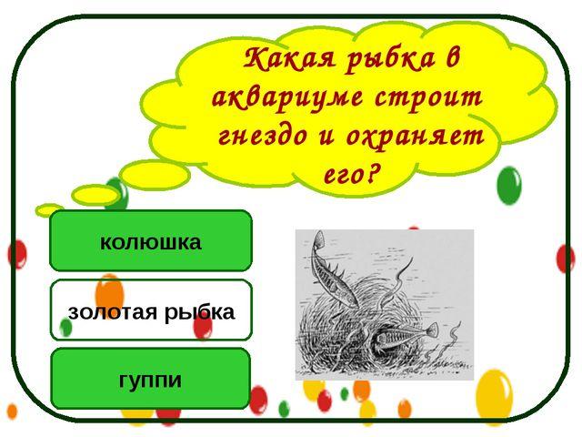 Какая рыбка в аквариуме строит гнездо и охраняет его? колюшка гуппи золотая р...