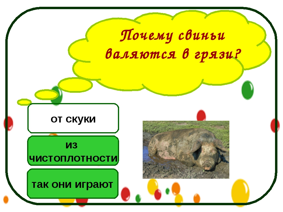 Почему свиньи валяются в грязи? из чистоплотности так они играют от скуки