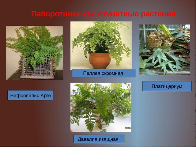 Папоротники как комнатные растения Нефролепис Арго Пеллея скромная Платицериу...
