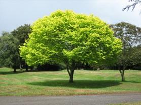http://upload.wikimedia.org/wikipedia/commons/f/f6/Bright_green_tree_-_Waikato.jpg