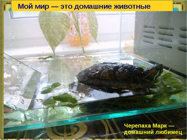Мой мир — это домашние животные Черепаха Марк — домашний любимец