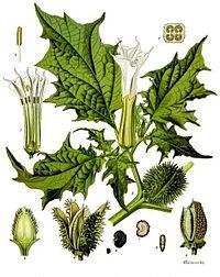 https://upload.wikimedia.org/wikipedia/commons/thumb/a/af/Datura_stramonium_-_K%C3%B6hler%E2%80%93s_Medizinal-Pflanzen-051.jpg/200px-Datura_stramonium_-_K%C3%B6hler%E2%80%93s_Medizinal-Pflanzen-051.jpg