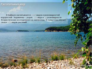 Растительный мир В Байкале насчитывается 1085 видов и разновидностей водоросл