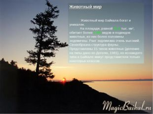 Животный мир Животный мир Байкала богат и уникален. На площади, равной 31,5 т