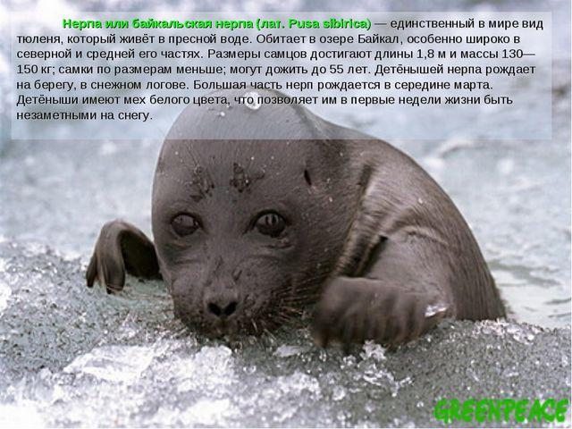 Нерпа или байкальская нерпа (лат. Pusa sibirica) — единственный в мире вид т...