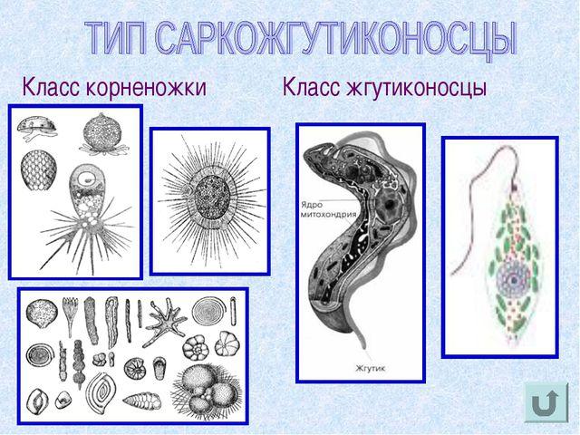 Класс корненожки Класс жгутиконосцы