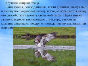 Крупнаяхищная птица. Лапы скопы, более длинные,когтидлинные, выпуклые и