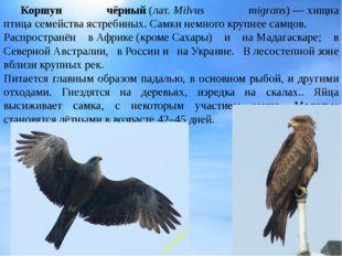 Коршун чёрный(лат.Milvus migrans)—хищна птицасемействаястребиных. Самк