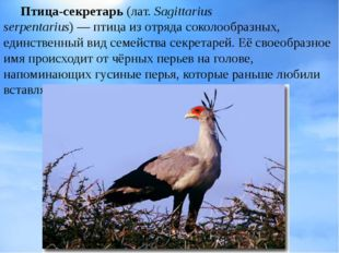 Птица-секретарь (лат.Sagittarius serpentarius)—птицаиз отрядасоколообра