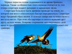 Чёрные перья на голове поднимаются во время брачного периода. Также особенно