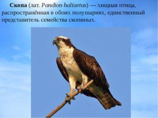 Скопа(лат.Pandion haliaetus)— хищная птица, распространённая в обоих полу
