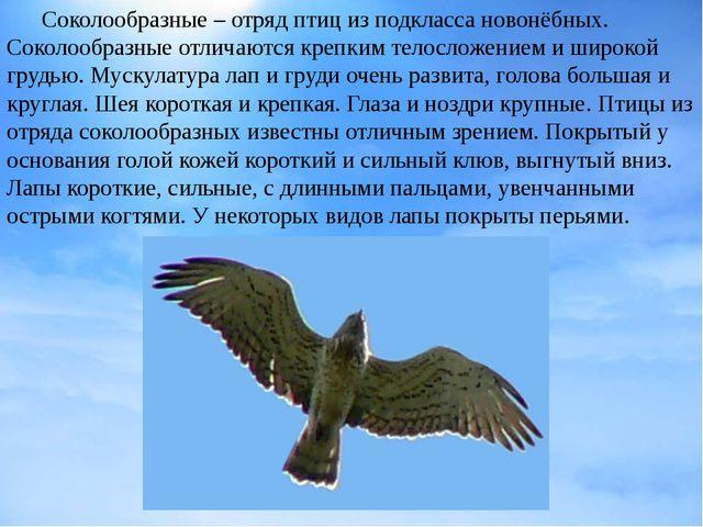 Соколообразные – отряд птицизподклассановонёбных. Соколообразные отличают...