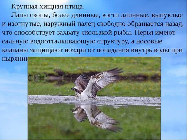 Крупнаяхищная птица. Лапы скопы, более длинные,когтидлинные, выпуклые и...