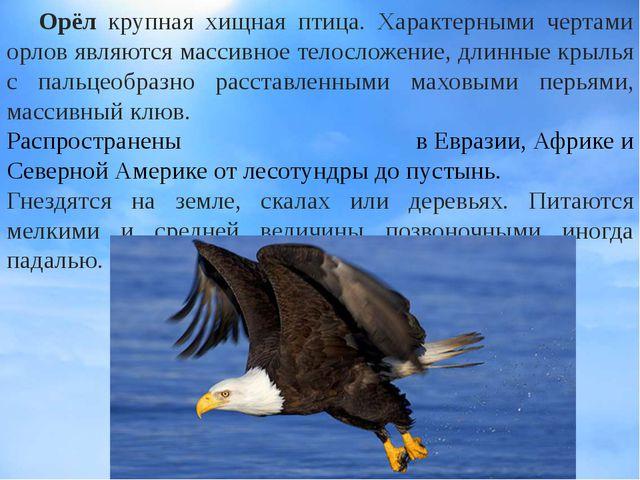 Орёл крупная хищная птица. Характерными чертами орлов являются массивное тел...