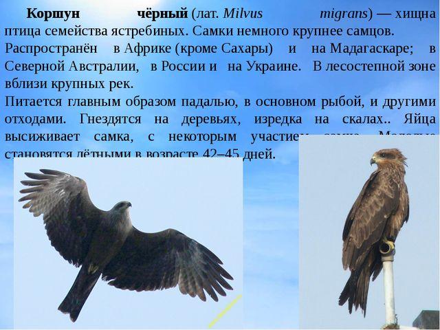 Коршун чёрный(лат.Milvus migrans)—хищна птицасемействаястребиных. Самк...