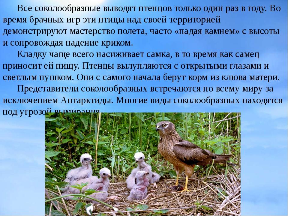 Все соколообразные выводят птенцов только один раз в году. Во время брачных...