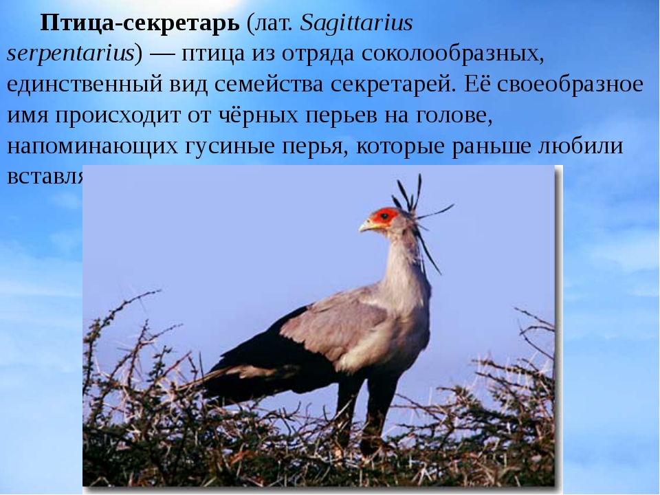 Птица-секретарь (лат.Sagittarius serpentarius)—птицаиз отрядасоколообра...