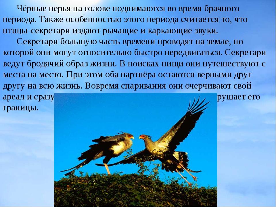 Чёрные перья на голове поднимаются во время брачного периода. Также особенно...