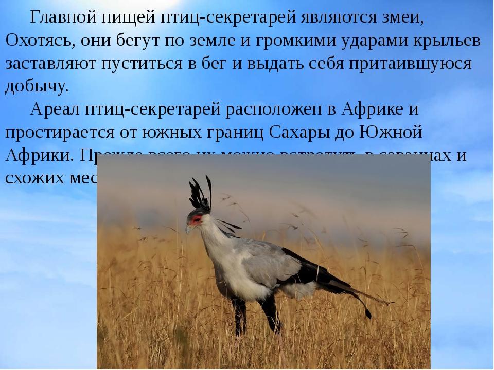 Главной пищей птиц-секретарей являютсязмеи, Охотясь, они бегут по земле и г...