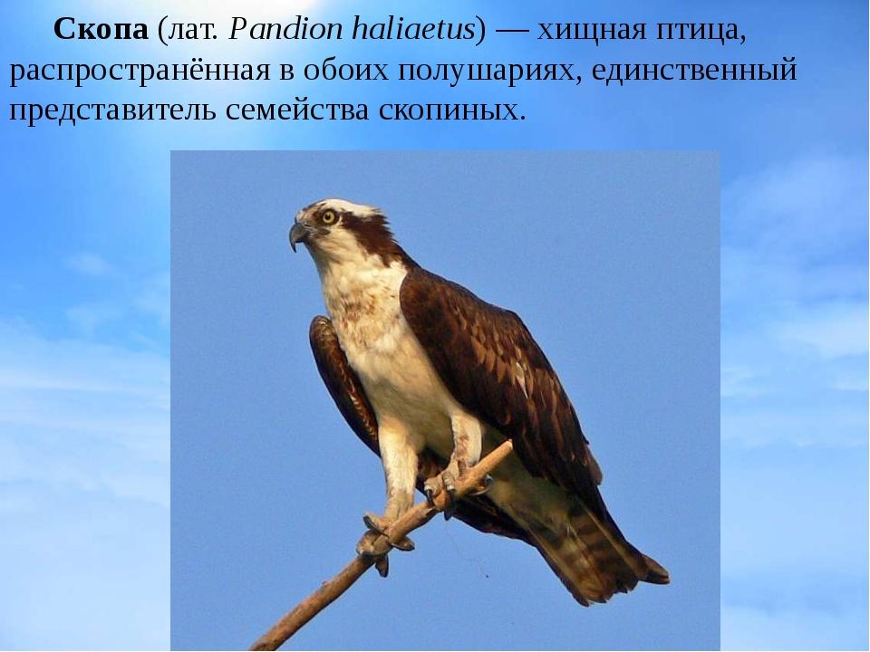Скопа(лат.Pandion haliaetus)— хищная птица, распространённая в обоих полу...