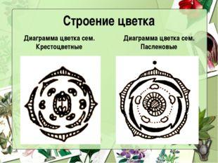 Строение цветка Диаграмма цветка сем. Крестоцветные Диаграмма цветка сем. Пас