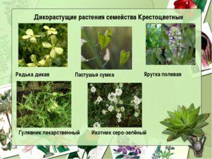 Дикорастущие растения семейства Крестоцветные Редька дикая  Пастушья сумка