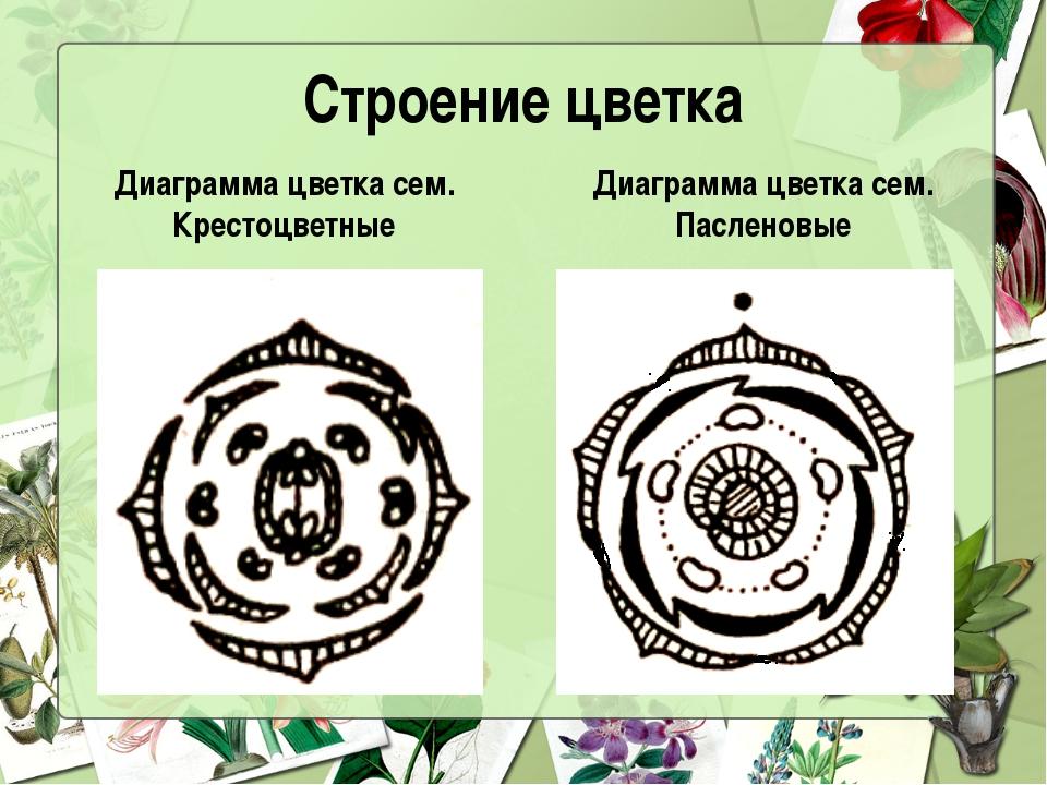 Строение цветка Диаграмма цветка сем. Крестоцветные Диаграмма цветка сем. Пас...