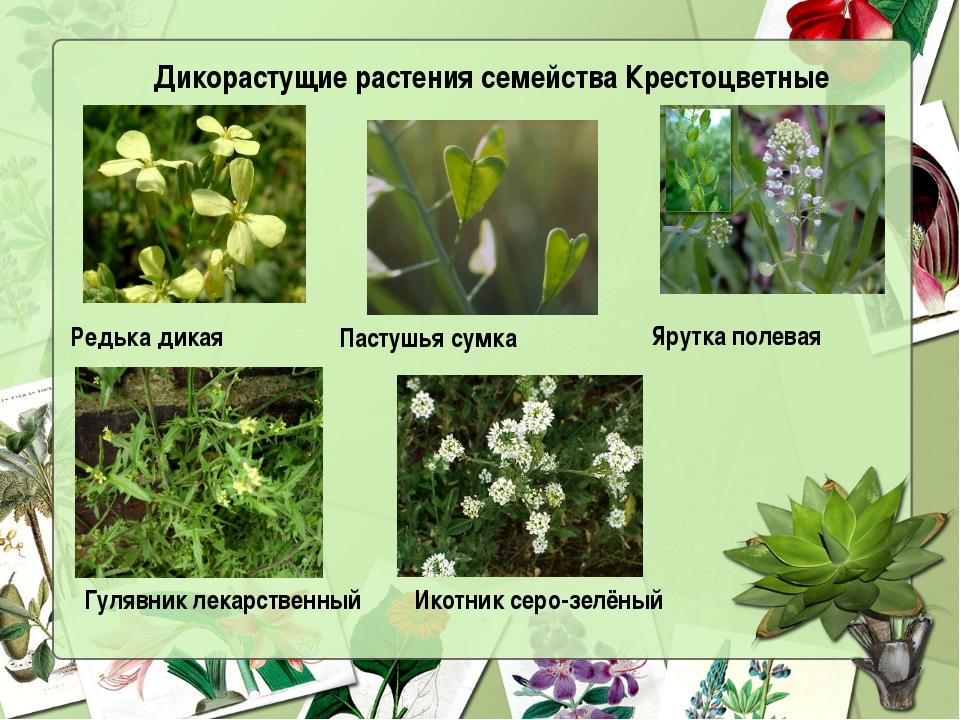 Дикорастущие растения семейства Крестоцветные Редька дикая  Пастушья сумка...