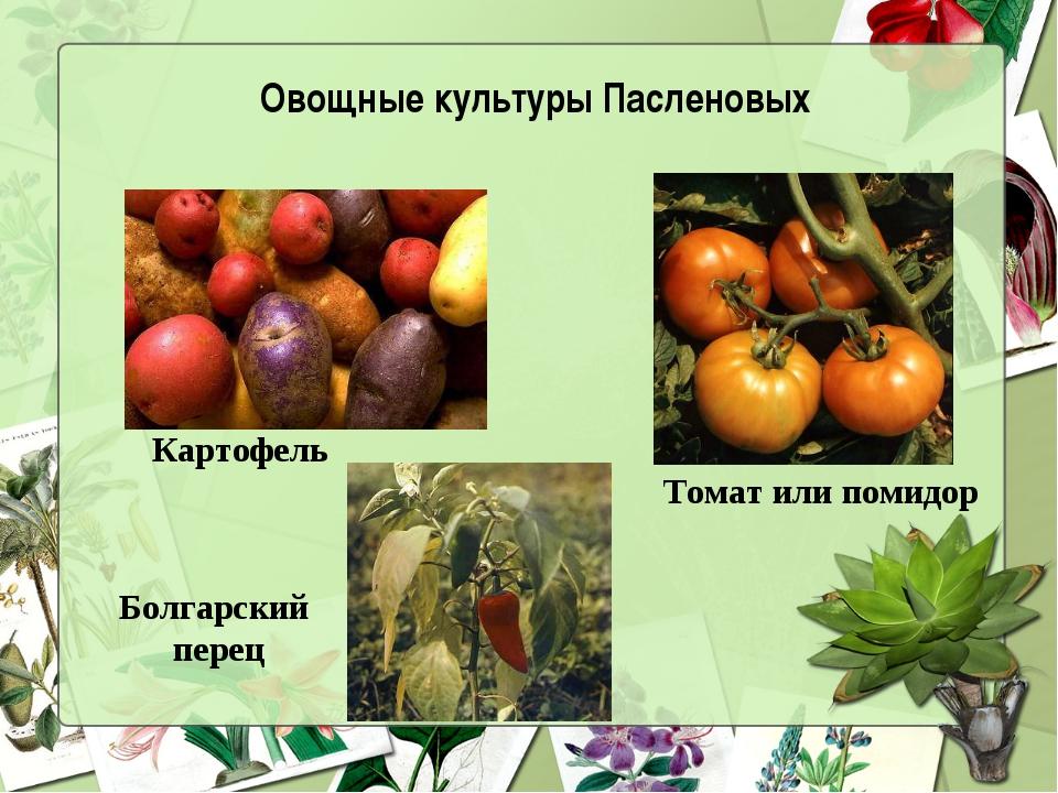 Болгарский перец Картофель Томат или помидор Овощные культуры Пасленовых