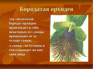 Бородатая орхидея эта «волосатая борода» орхидеи привлекает к себе некоторых