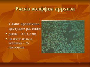 Ряска волффиа аррхиза Самое крошечное цветущее растение: длина – 0,5-1,2 мм н