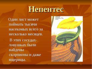 Непентес Один лист может поймать тысячи насекомых всего за несколько месяцев.