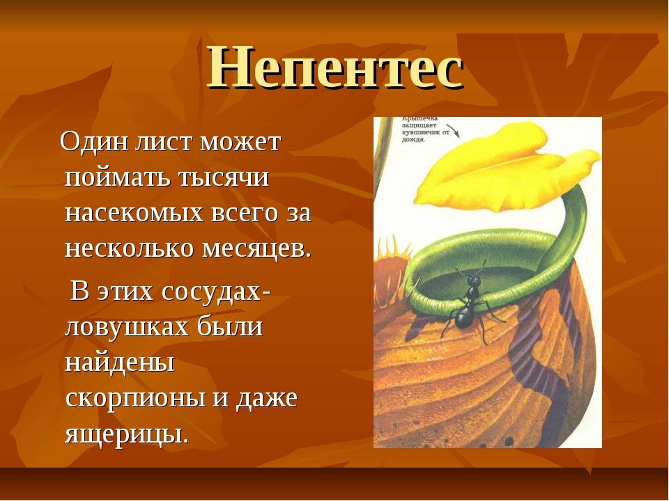 Непентес Один лист может поймать тысячи насекомых всего за несколько месяцев....