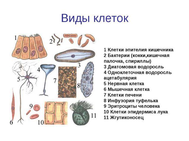 Виды клеток 1 Клетки эпителия кишечника 2 Бактерии (кокки,кишечная палочка, с...