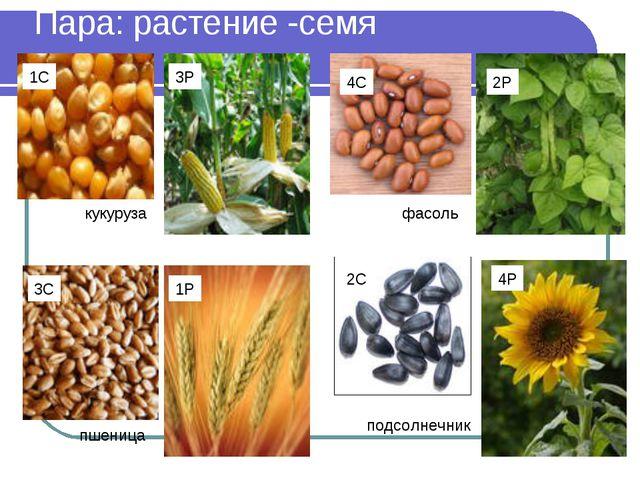 Пара: растение -семя 2С 1С 2Р 3Р 4Р 1Р 3С 4С кукуруза фасоль подсолнечник пше...