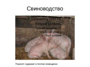 Свиноводство Поросят содержат в теплом помещении