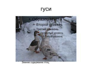 гуси Зимнее содержание птиц