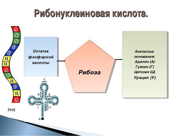 Азотистые основания: Аденин (А) Гуанин (Г) Цитозин (Ц) Урацил (У) Рибоза Оста...